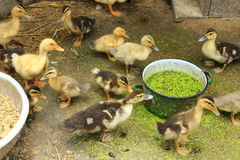 Ducklings on the poultry Royalty Free Stock Photography