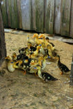 Ducklings on the poultry Stock Image