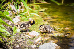 Ducklings preening feathers. Three small mallard ducklings preening feathers Royalty Free Stock Images
