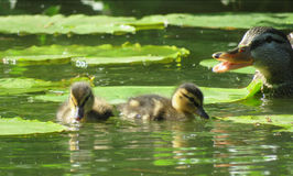 Ducklings protected by mother duck. Chicks in pond in Volkspark in Enschede stock image