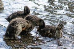 Ducklings Stock Image