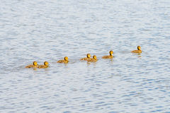 Ducklings on the River Stock Images