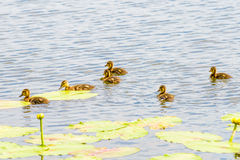 Ducklings on the River. Many ducklings are swimming on the river close to the yellow waterlilies Stock Photography