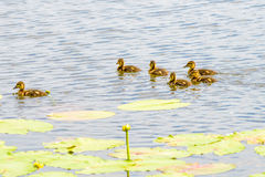Ducklings on the River. Many ducklings are swimming on the river close to the yellow waterlilies Royalty Free Stock Image
