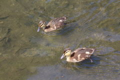 Ducklings on a river. Two mallard ducklings swimming on the water of a river Stock Photo