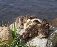 Ducklings On A Rock Stock Images