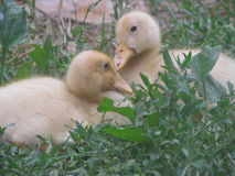 Ducklings in the Russian village Stock Photos