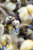 Ducklings for sale Royalty Free Stock Photo