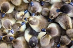 Ducklings for sale Royalty Free Stock Image