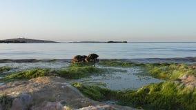 Ducklings on the seaside stock video footage