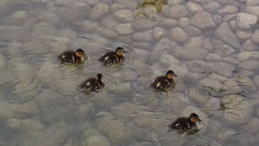 Ducklings in shallow water. Ducklings swimming in shallow water with a rocky bottom Royalty Free Stock Image