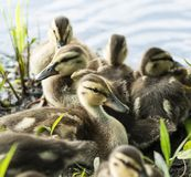Ducklings on the side of a pond up close. Ducklings laying on the ground on the side of a pond in a group royalty free stock photography