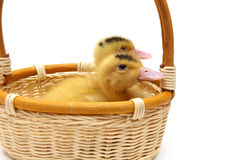 Ducklings sitting in a basket on a white background Stock Image