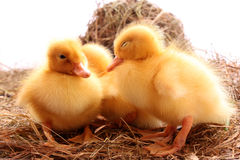 Ducklings sleep Royalty Free Stock Photos