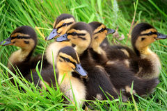 Ducklings Snuggled Together. Brood of ducklings snuggled together on the river bank Royalty Free Stock Images