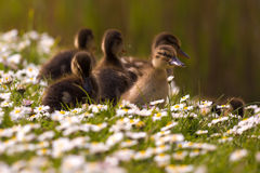 Ducklings in springtime royalty free stock photo