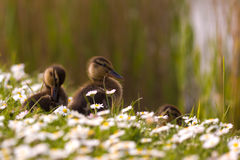 Ducklings in springtime royalty free stock images