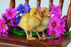 Ducklings Standing on a Chair. Two live ducklings standing on a chair with fresh flowers Royalty Free Stock Photo