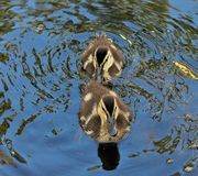 Ducklings sticking close together. Overhead image of two very young mallard ducklings very close together floating down the creek on a warm summer morning. The royalty free stock images