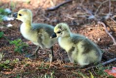 Ducklings Struggle To Take First Steps. Wild ducklings struggle to take their first steps in the wild, these duckling are about a month old and have about a Royalty Free Stock Images