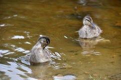 Ducklings swim Stock Photos