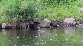 Ducklings swim in the duck. Ekaterinburg, Russia. Stock Photos