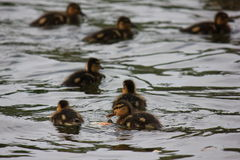 Ducklings swim. Little ducklings swimming in a pond Stock Photos