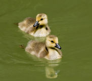 Ducklings Swimming Royalty Free Stock Photography