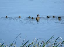 Ducklings swimming on pond with mama Stock Images