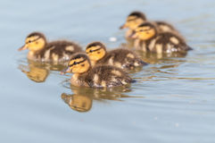 Ducklings Swimming on a Pond Stock Photo