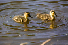 Ducklings swimming in pond stock image