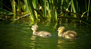Ducklings Swimming in a Pond Royalty Free Stock Photography