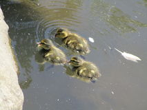 Ducklings swimming in pond water Royalty Free Stock Image