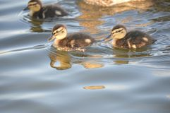 Ducklings swimming on a pound in UK Royalty Free Stock Photography