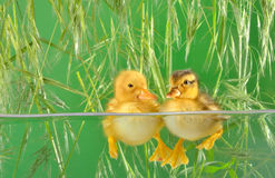 Ducklings swimming. Two ducklings swimming for the very first time on green background Royalty Free Stock Photo