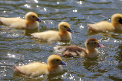 Ducklings. Swimming in the water Stock Photo