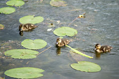 Ducklings swims in green lily leaves on river Royalty Free Stock Images