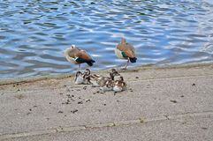 Ducklings with their Mother. Photo of some baby Ducklings with their Mother in Hyde Park, London, UK Stock Photo