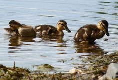 Ducklings. Three baby ducks headed for shore Royalty Free Stock Images