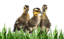 Ducklings Royalty Free Stock Images