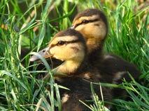 ducklings två Royaltyfria Foton