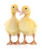 ducklings två Royaltyfri Bild