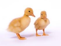 ducklings två Royaltyfria Bilder