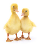ducklings två Fotografering för Bildbyråer