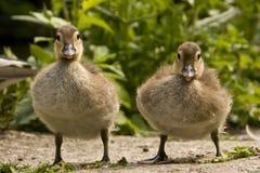 ducklings två Arkivbild