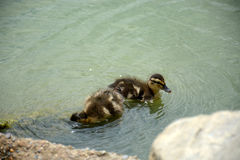 Ducklings Stock Photography
