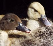 The ducklings. Two ducklings with black background Royalty Free Stock Photos