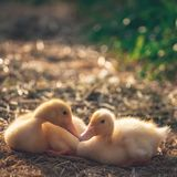 Ducklings. Two chicks in trave Royalty Free Stock Image