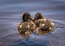 Ducklings. Two duckilngs eating side by side Royalty Free Stock Photo