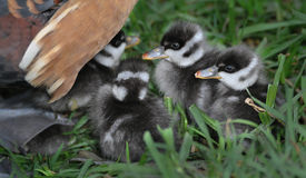 Ducklings under mothers wing Royalty Free Stock Photos